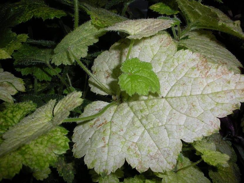 Hoja de cerca de la planta millonario o Plectranthus verticillatus