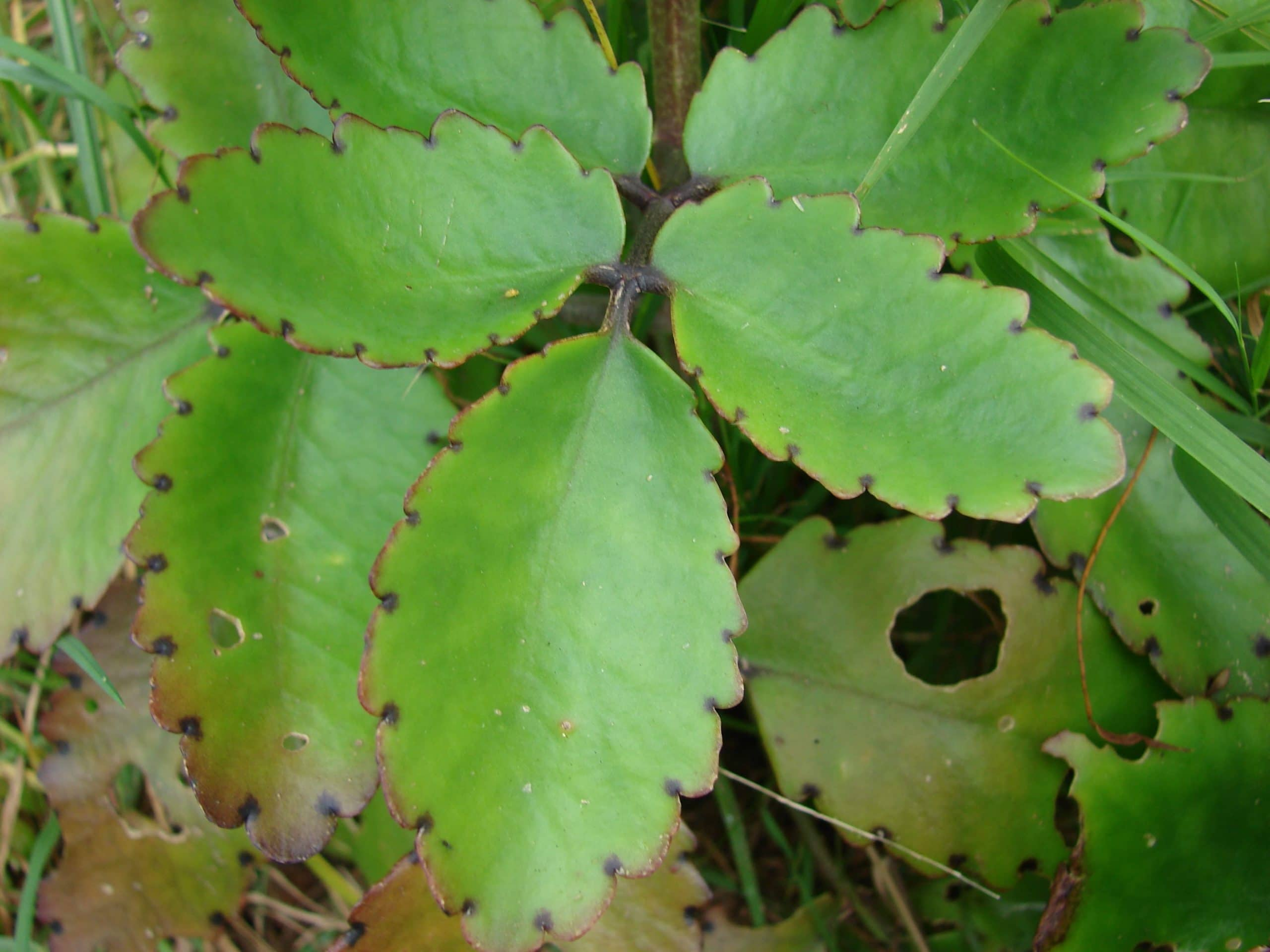 Las hojas del Kalanchoe pinnata son carnosas