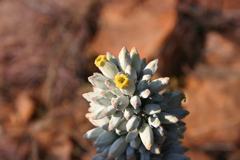 Las flores del Kalanchoe thyrsiflora son cerosas