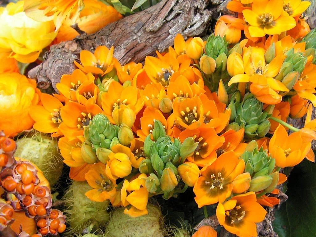 La planta Ornithogalum dubium es fácil de cuidar