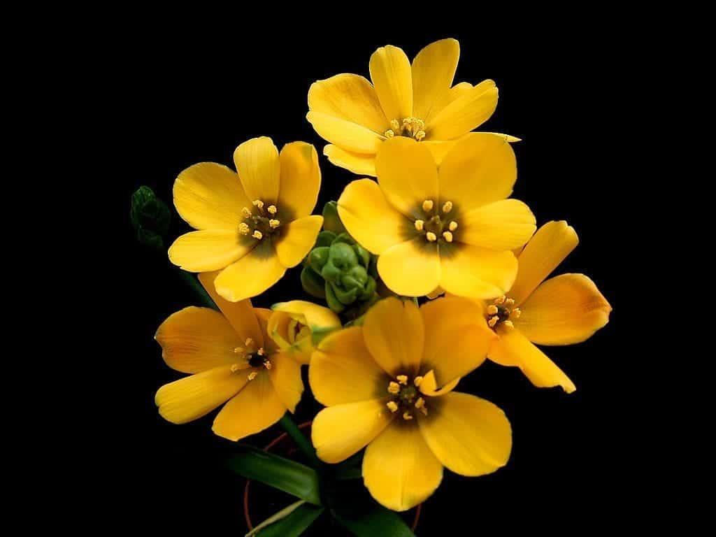 Las flores del Ornithogalum dubium pueden ser amarillas