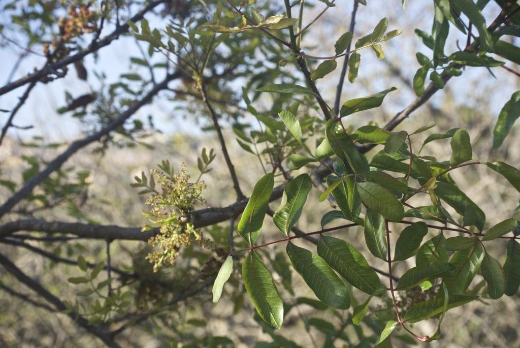 La Pistacia atlantica es un árbol muy resistente