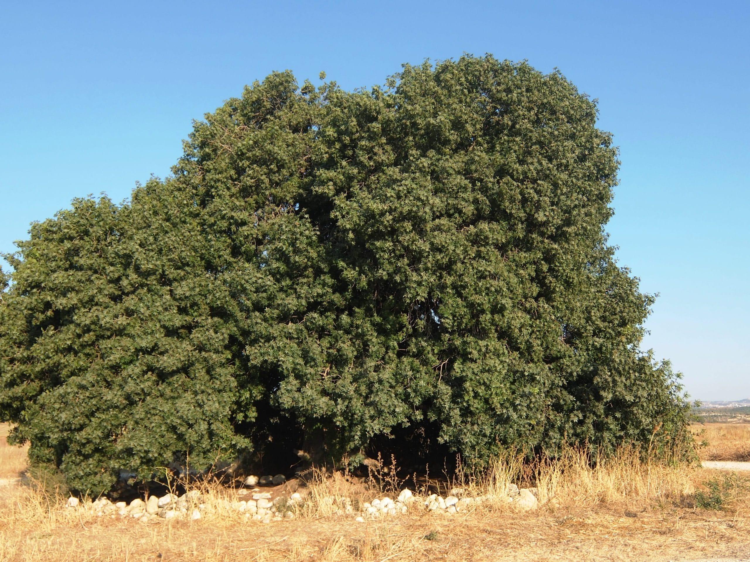 La Pistacia atlantica es un arbusto o arbolito muy decorativo