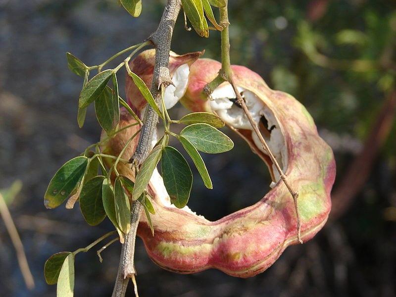 Árbol de guamuchil