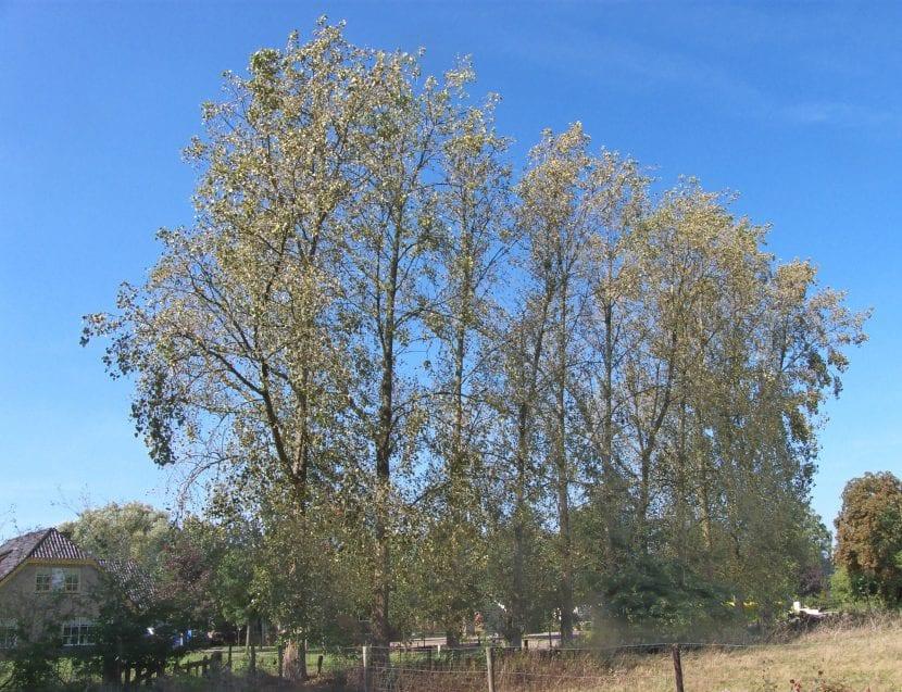 Árbol de Populus canadensis