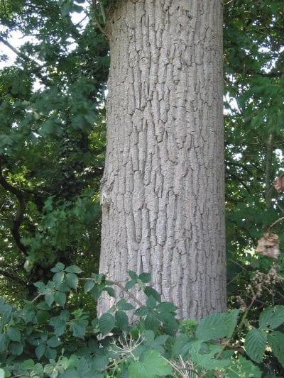 Tronco de Populus canadensis