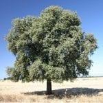 Quercus ilex Rotundifolia