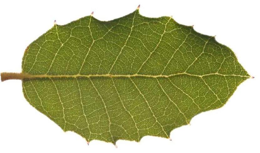 Hoja del Quercus ilex Rotundifolia
