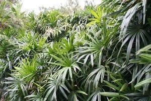 La Raphis excelsa es una palmera con hojas en forma de abanico