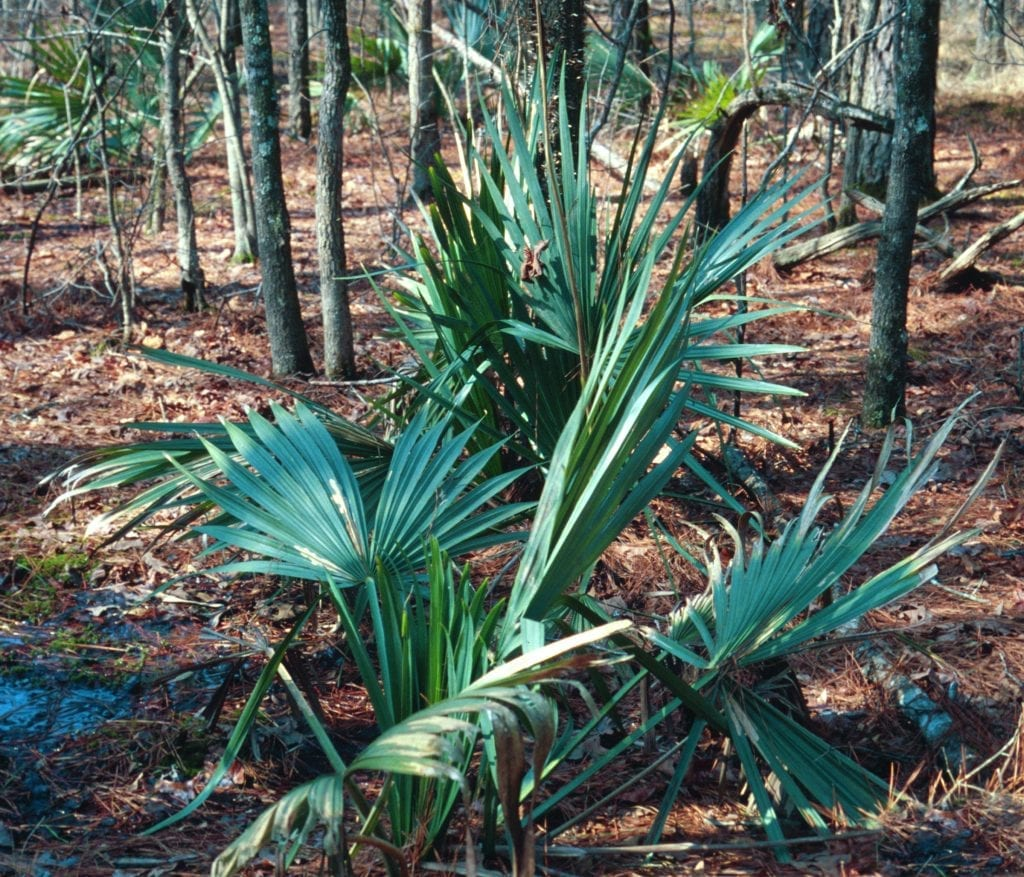Palmera de Sabal minor