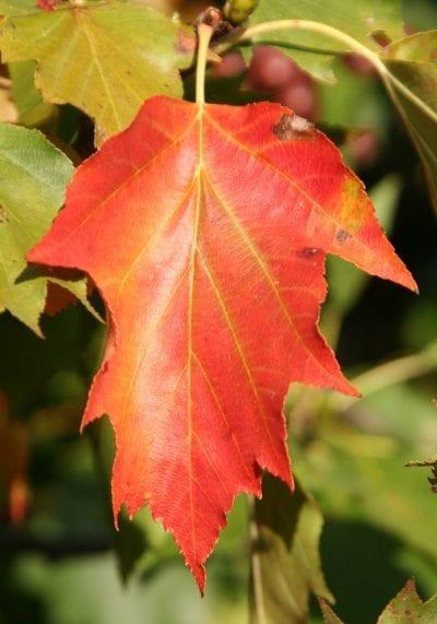 El Sorbus torminalis se vuelve rojo en otoño