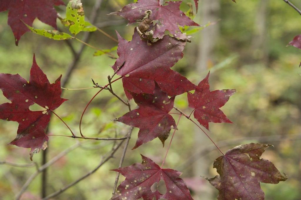 Acer mono en otoño