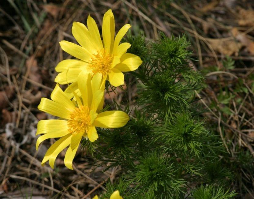 Planta Adonis vernalis