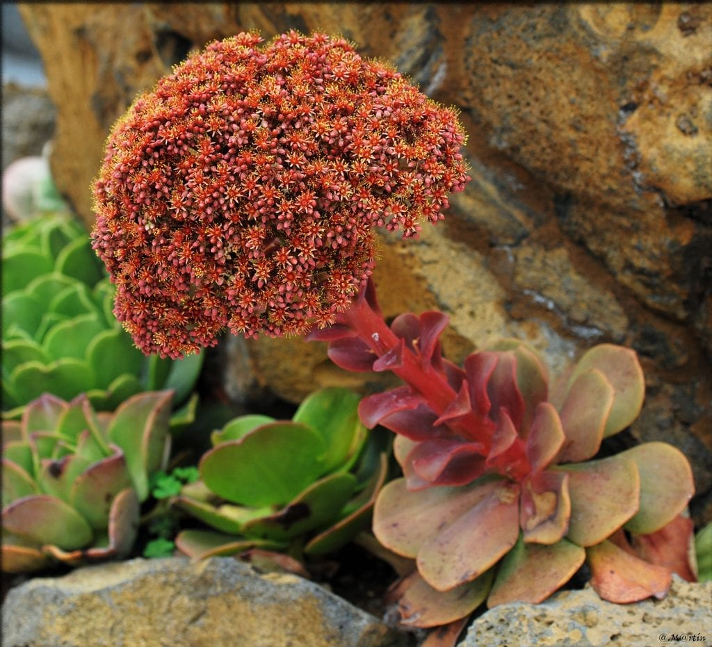 Flores de Aeonium nobile