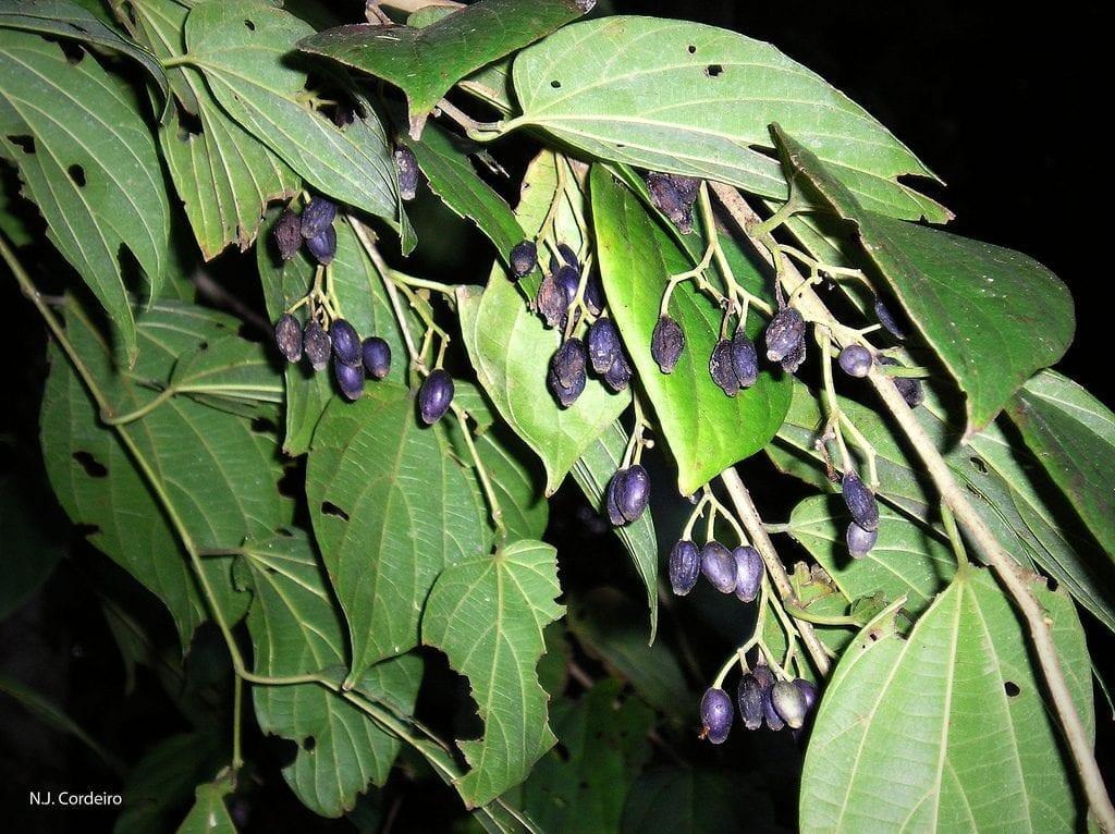 Frutos de Alangium chinense