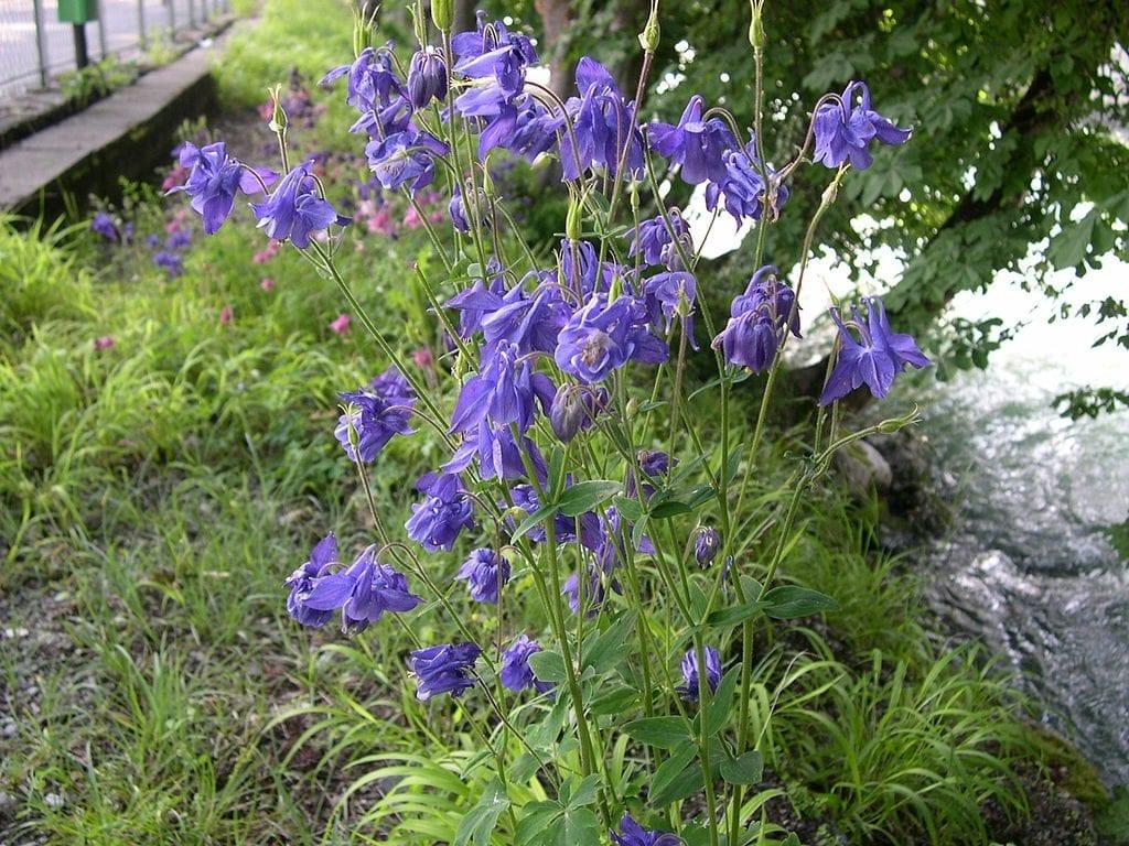 La planta de Aquilegia vulgaris es muy decorativa