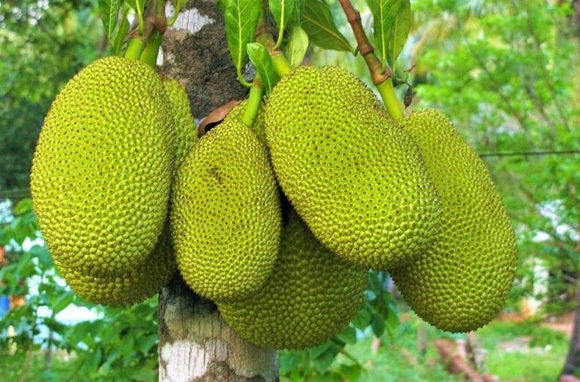 arbol con frutos llamados Yaka (Artocarpus heterophyllus)