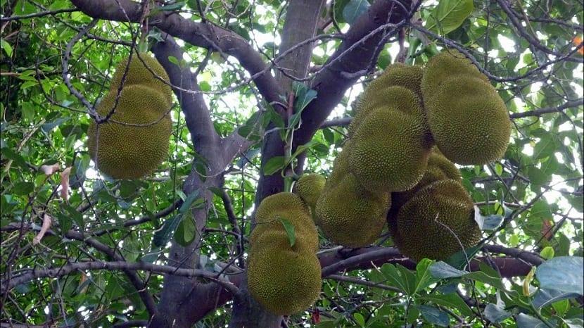 arbol con yakas, llamada la fruta milagrosa
