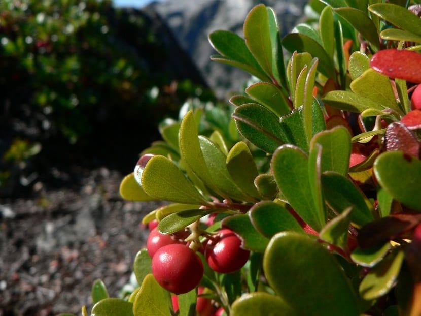 arbusto llamado Uvas ursi que crece en el suelo