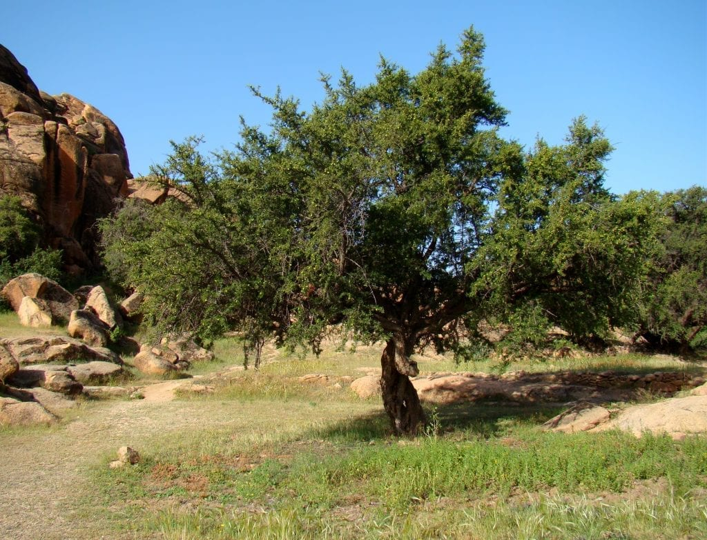 Vista del árbol Argania spinosa
