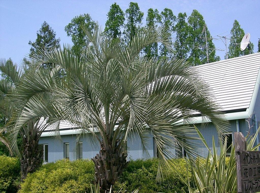 La Butia capitata es una palmera muy decorativa