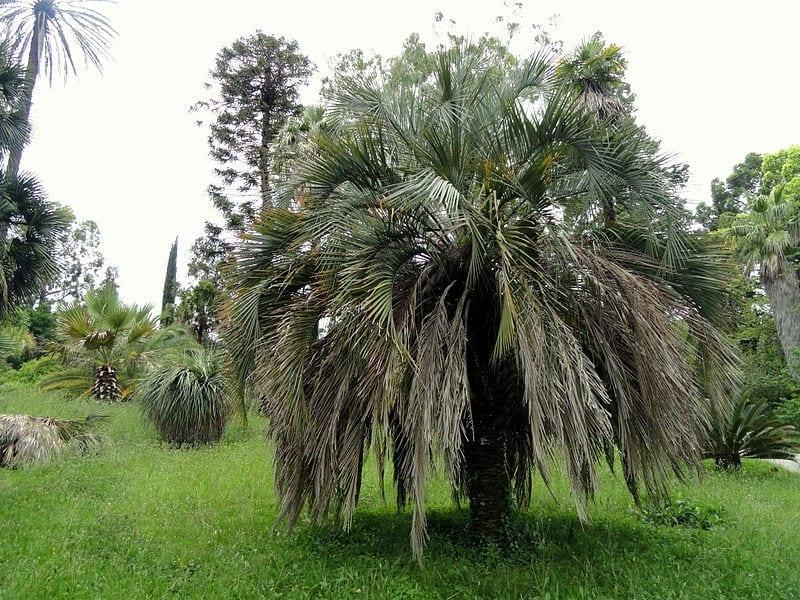 La Butia capitata se puede cultivar en casi cualquier tipo de jardín