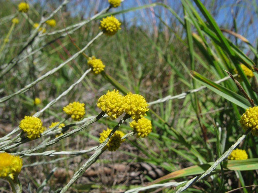 Las flores del Calocephalus son amarillas