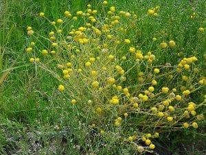 Vista de las flores del Calocephalus platycephalus