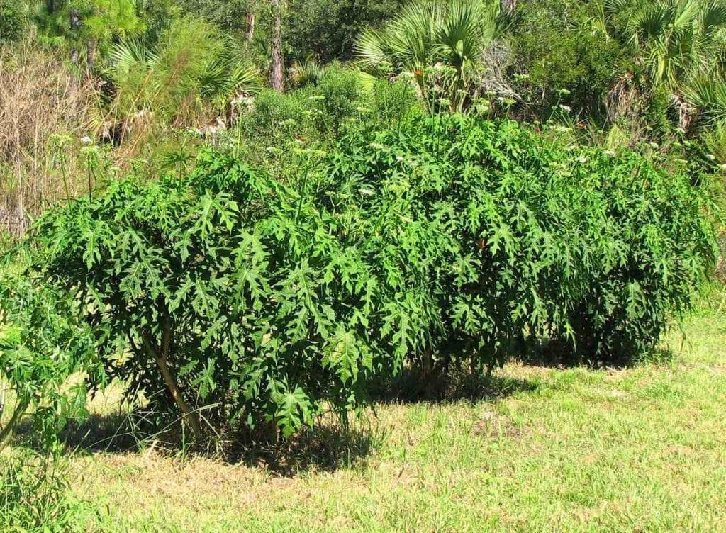 Plantas de chaya