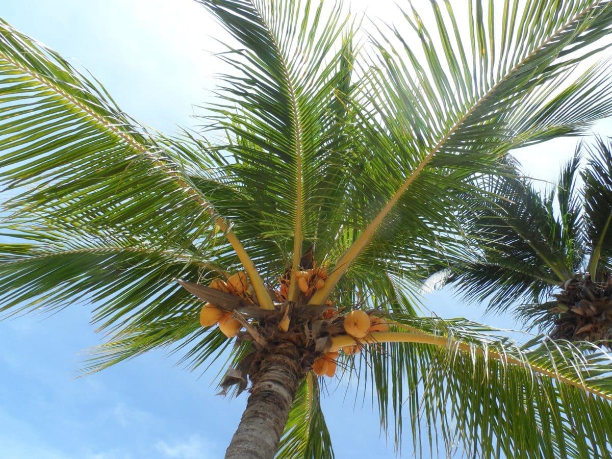 El cocotero es una palmera que vive en la playa