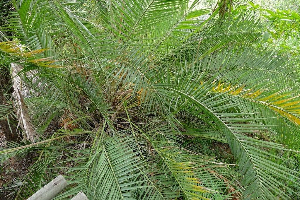 Las hojas de la Phoenix reclinata son largas y pinnadas