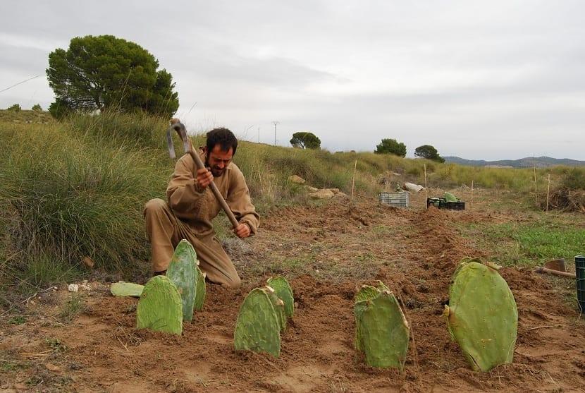 cultivo de nopales