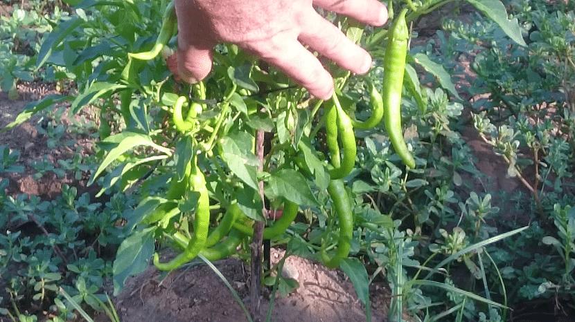 cultivo de pìparras