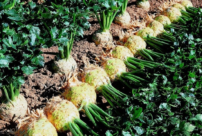 cultivo del apio nabo