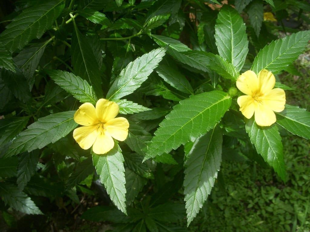 Las flores de la damiana son pequeñas y amarillas