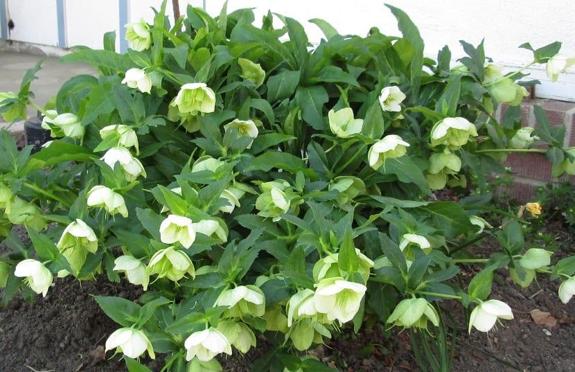 eléboro con hojas blancas