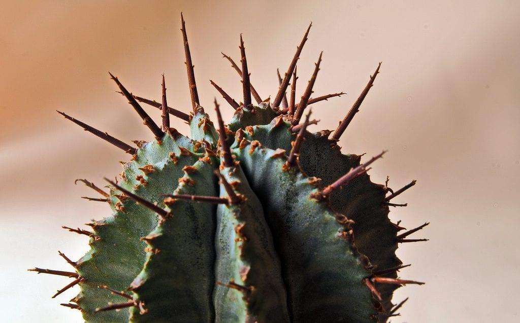 Las espinas de la Euphorbia horrida son inofensivas