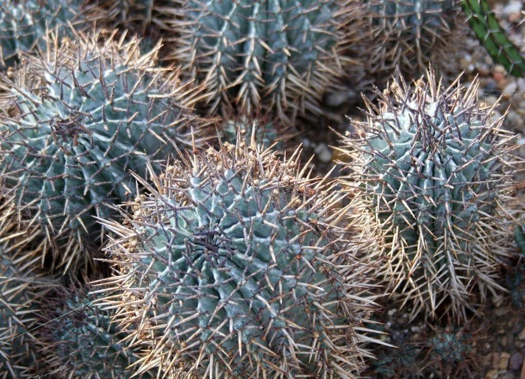 La Euphorbia horrida es una suculenta de rápido crecimiento