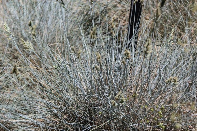 Vista de la planta Festuca glauca 'Elijah Blue'