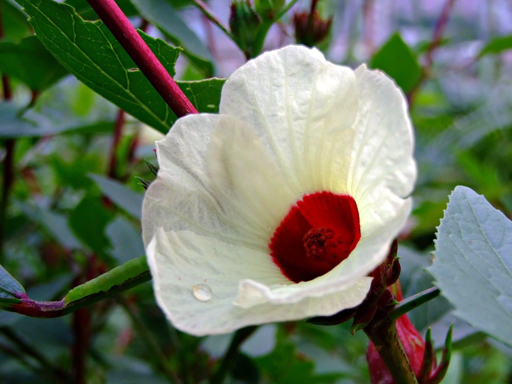 La flor de Jamaica es blanca