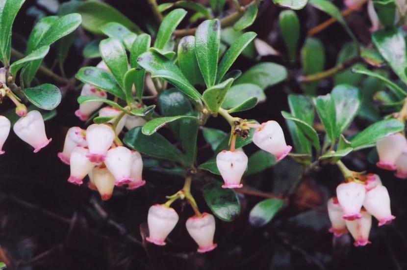 flor de la Uvas ursi o Arctostaphylos uva ursi