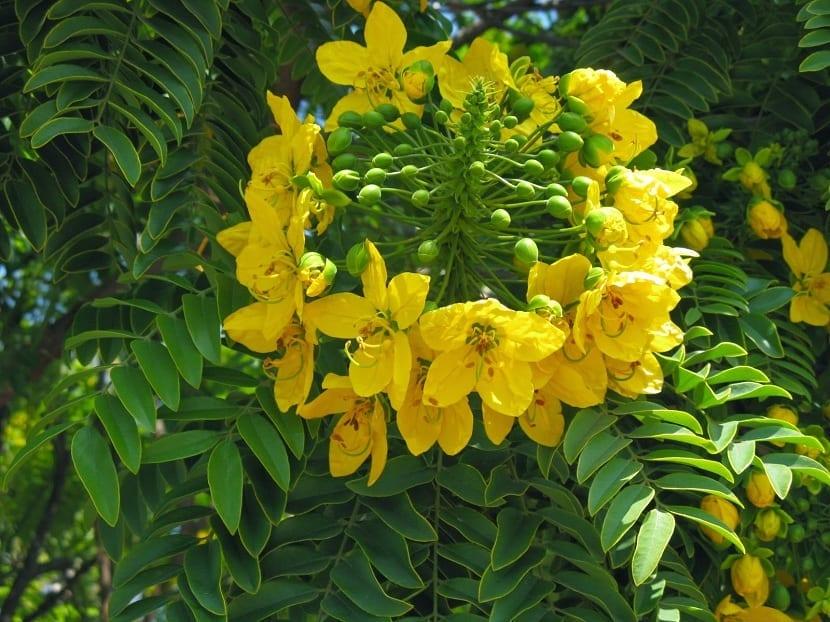 flores de la cassia angustifolia