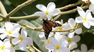 flores llamadas Pulmerias blanca atrayendo a una mariposa