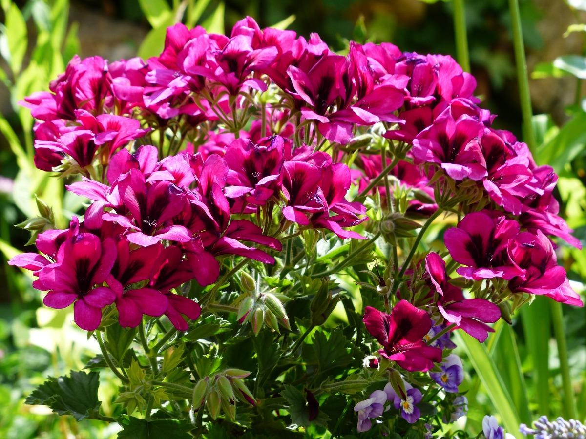 El geranio pensamiento es una planta de flores vistosas