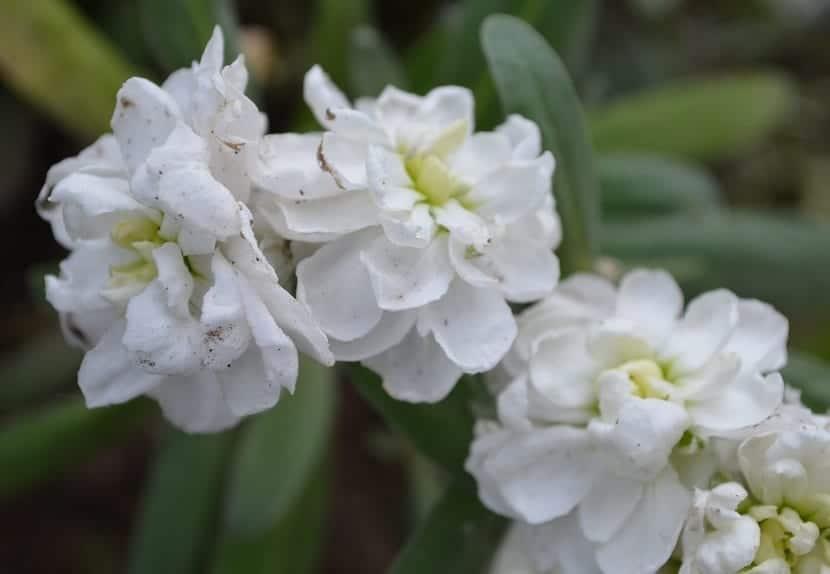 flores llamadas Plumeria alba que son de color blanco