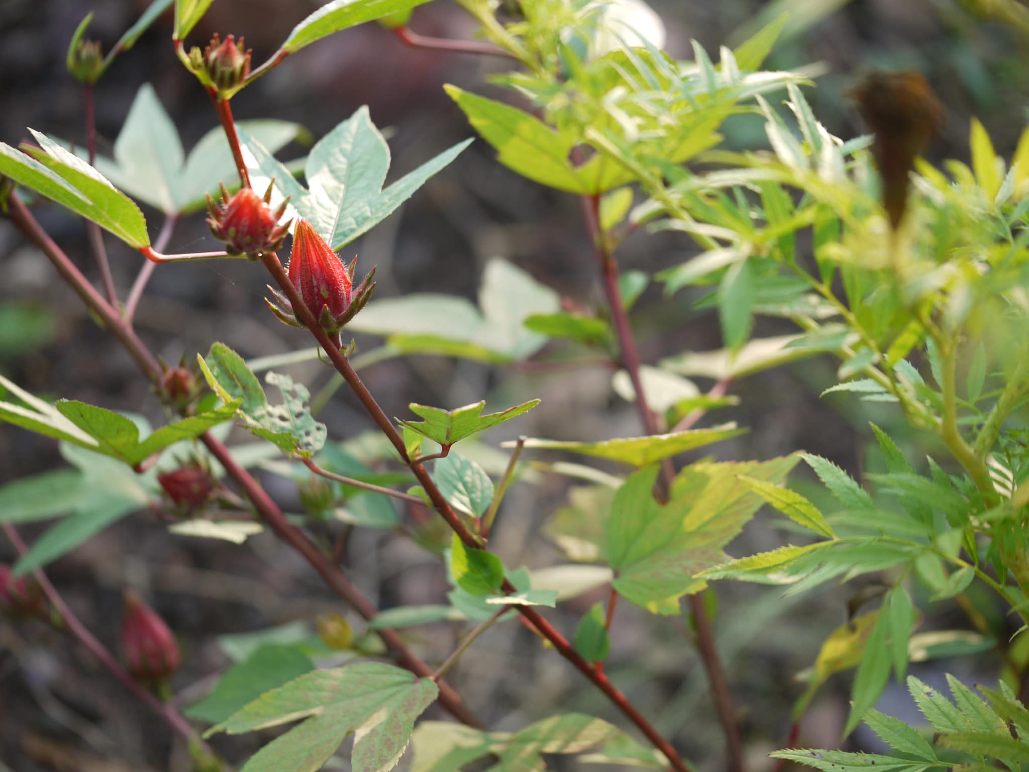 El Hibiscus sabdariffa es anual