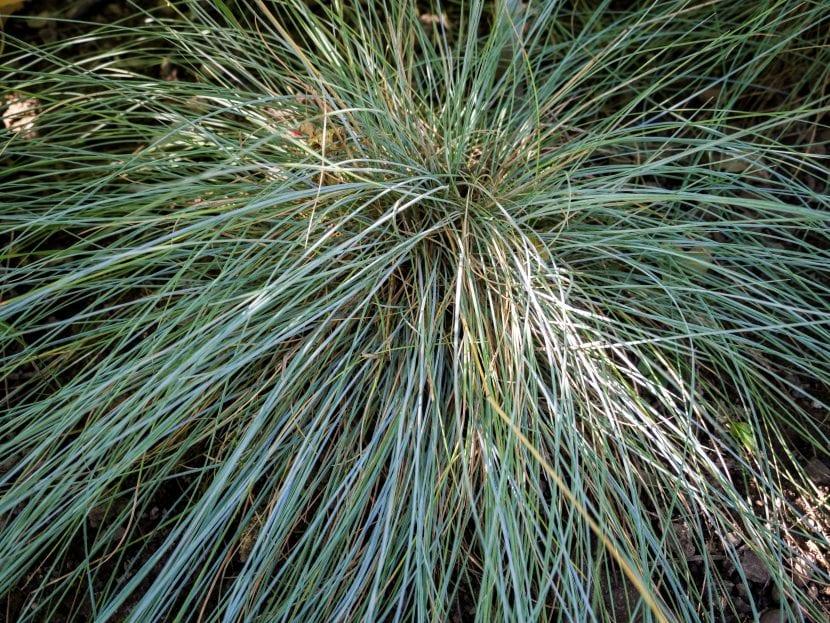 Las hojas de la Festuca glauca son largas y finas