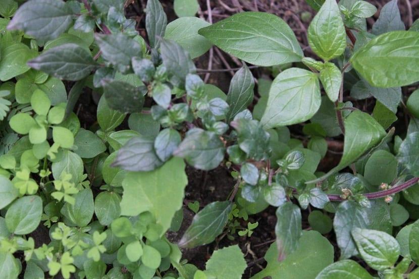 hojas de la parietaria