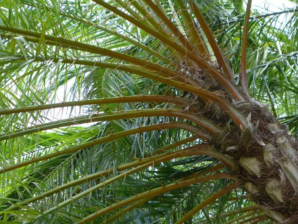 La Phoenix reclinata es una palmera muy decorativa
