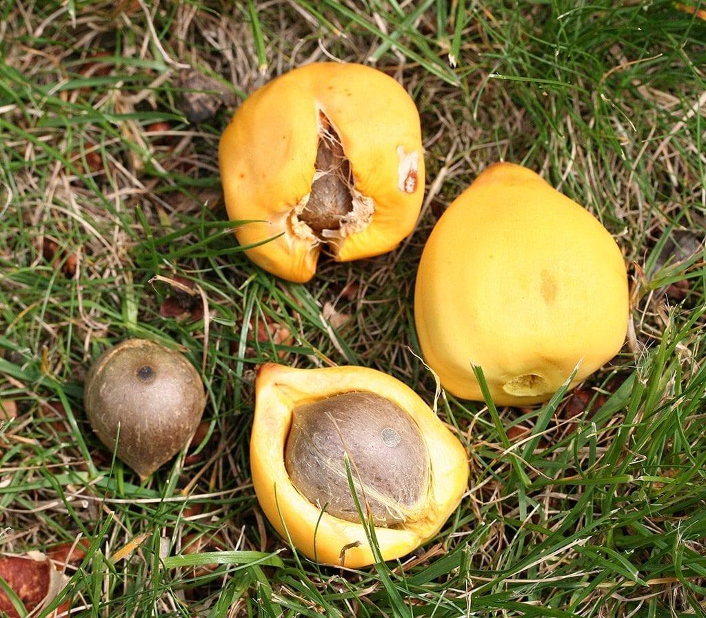 Los frutos de la Jubaea chilensis son redondeados